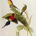 Nectarinia Gouldae by John Gould