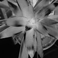 Negative Bromeliad by Emily Kelley