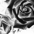Negative Roses by Philip Openshaw