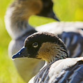Nene Geese by Ron Dahlquist - Printscapes