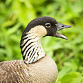 Nene Goose by Ron Dahlquist - Printscapes