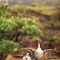 Maui Hawaii Haleakala National Park Nene Hawaiian State Bird by Jim Cazel