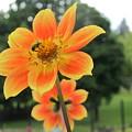 Neon Orange Flower by Cindy Kellogg