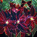 Neon Poinsettias by Nancy Mueller
