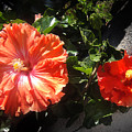 Neon-red Hibiscus Flowers 6-17 by Sofia Metal Queen