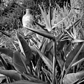Nepenthe Bird Of Paradise B And W by Joyce Dickens