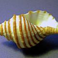 Neptune Whelk Seashell by Frank Wilson