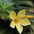 Nerium Oleander by Teresa Wilson