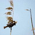 Nest Building Sparrow   by Cliff Norton