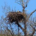 Nesting Bald Eagle by William Tasker