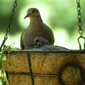 Nesting Doves, Hanging Basket, Balcony Garden, Hunter Hill, May  by James Oppenheim