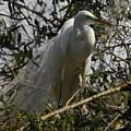 Nesting Egret by Denise Mazzocco