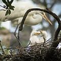 Nesting Egret by Janal Koenig