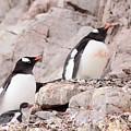 Nesting Gentoo Penguins by Bruce J Robinson