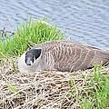 Nesting Goose by Bonfire Photography