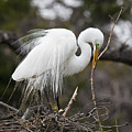 Nesting Great Egret by Frank Russell