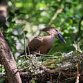 Nesting Hamerkop by Alex Lapidus