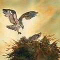 Nesting Ospray by Paul Temple