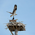 Nesting Osprey In New England by Erin Paul Donovan