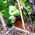 Nesting Robin by Will Borden