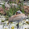 Nesting Sandhill Crane Pair by Carol Groenen