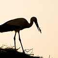 Nesting Stork by Mick House