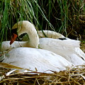Nesting Swans by Sonja Anderson