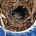 Nesting Wren by Douglas Barnett