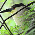 Nestled Night Heron by Spade Photo