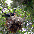 Nestling Anhingas by Donna Proctor