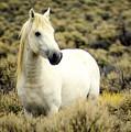 Nevada Wild Horses 3 by Marty Koch