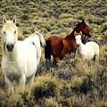 Nevada Wild Horses by Marty Koch