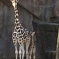 New Baby Giraffe by Jean Wolfrum