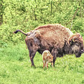 New Born Bison by Chad Fuller