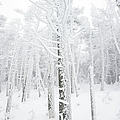 New England - Snow Covered Forest by Erin Paul Donovan