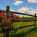 New England Vineyard by Catherine Reusch Daley