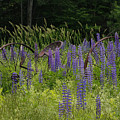 New Hampshire Lupines by Stan and Anne Foster