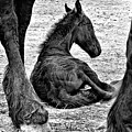 New Life - Friesian by Nadine Lewis