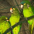 New Moon Conures by Michele Stoehr