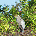 New Nest For Great Blue Heron by William Tasker