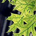 New Oak Leaves    by Sarah Loft