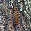 New Orleans Buck Moth Caterpillar by Michael Hoard