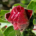 New Red Hibiscus by Pamela Walton