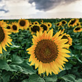 New York Sunflower Friends by Alissa Beth Photography