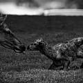 Newborn Elk by Nps