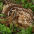 Newborn Fawn by DeeLon Merritt