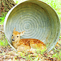 Newborn Fawn Finds Shelter In An Old Washtub by A Gurmankin