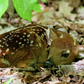 Newborn White-tailed Deer Fawn by Bruce J Robinson
