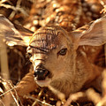 Newly Born Fawn Hiding In A Saskatchewan Field by Mark Duffy