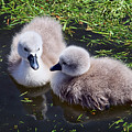 Newly Hatched Cygnets At Abbotsbury by Susie Peek